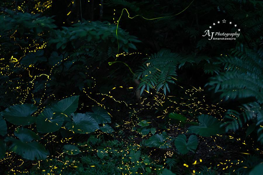 石垣島のホタル・ヤエヤマボタル20190331